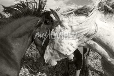 Fotomural Dos caballos que se saludan