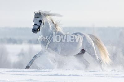 Fotomural Biały koń galopuje w w polu zimie