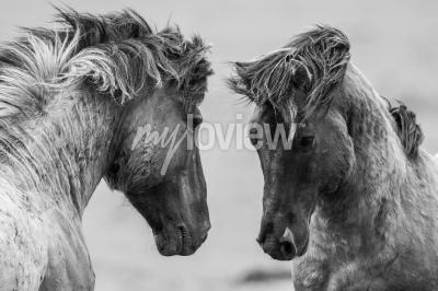 Fotomural Dos caballos luchando juntos