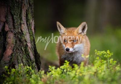 Fotomural Caza del zorro en el bosque de Europa