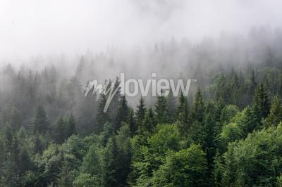 Fotomural Descripción de Evergreen Forest