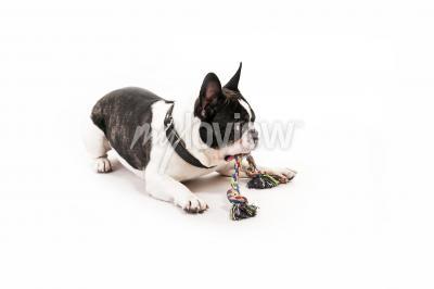 Fotomural Perro con su juguete en el fondo blanco