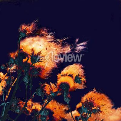 Cuadro Silhouettes of bright fuzzy dry flowers and flying seeds on dark background