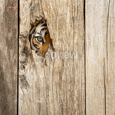 Fotomural Siberian tiger eye in wooden hole in concept of secretly dangerous